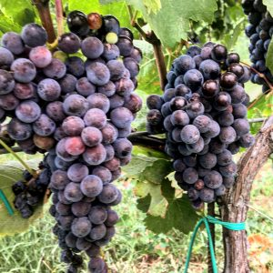 Nero d'Avola Grapes